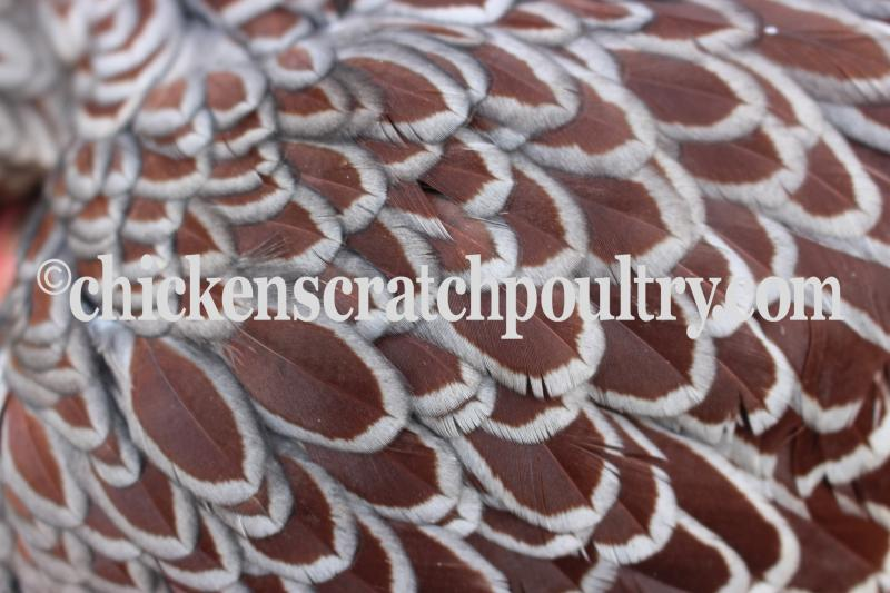 wyandotte big and beautiful singles I have a single golden laced wyandotte named  she's a beautiful girl and very motherly to any  absolutely love my silver laced wyandotte she lays big,.